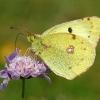 Weißklee-Gelbling (Goldene Acht) 1