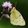 Weißklee-Gelbling (Goldene Acht) 3
