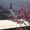 Weinbergspfirsichblüte an der Mosel bei Briedern
