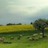 Schafherde bei Landkern/Eifel 1