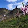 Weinbergspfirsichblüte an der Mosel bei Beilstein