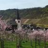 Weinbergspfirsichblüte an der Mosel bei Bruttig-Fankel 2