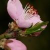 Weinbergspfirsichblüte