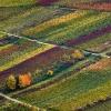 Weinberge in Herbstfarben 1