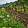 Weinbau in der Flachlage 2