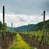 Weinbau in der Flachlage 1