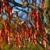 Herbstlaub des Weinbergspfirsich