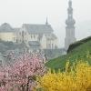 Weinbergspfirsichblüte im Nebel