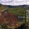 Herbstlaub des Weinbergspfirsich über der Mosel 4