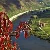 Herbstlaub des Weinbergspfirsich über der Mosel 2