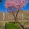 Weinbergspfirsichblüte an der Mosel 3